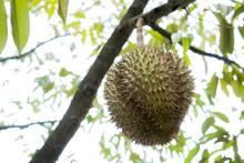 Organic Durian Fruit Fresh On ...