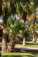 Washingtonia Robusta, The Mexi...