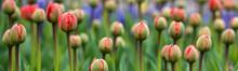 Allphotokz Tulips 20160410 015...