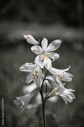 Photo Picture of a mountain wild lily in black and white, with colored anther