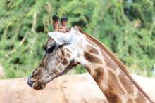 Valencia, Spain,3,6,2014: African Giraffes At The Bioparc In Valencia