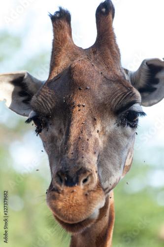 Valencia, Spain,3,6,2014: African Giraffes at the Bioparc in Valencia Canvas Print