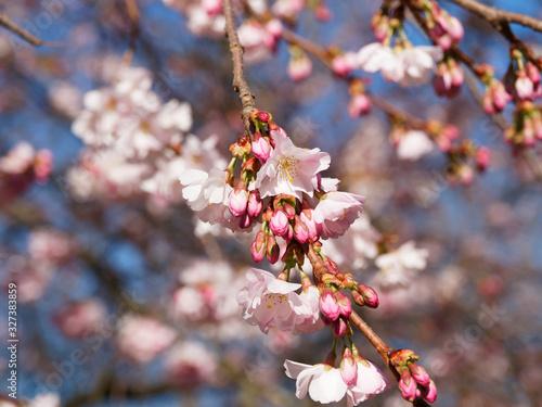 Photo (Prunus Accolade) Cerisier à fleurs rose du Japon Accolade aux fleurs semi-doubl