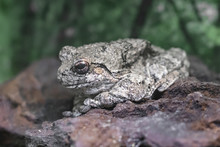 Close Up Of Gray Tree Frog Standing On Rock