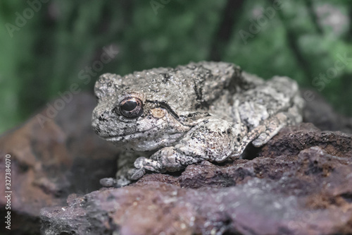 Photo Close up of gray tree frog standing on rock