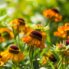 Blooming Helenium Flowers In T...