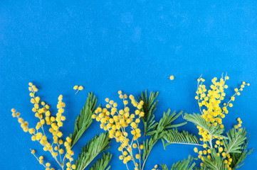 Fototapeta na wymiar Mimosa flowers branch isolated on blue background with copy space