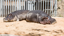 Two Sleeping Hippos In A Zoo