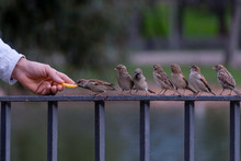 Group Of Sparrows On A Railing...