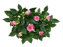 Bush Of Pink Rose Flowers