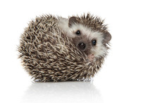 African Hedgehog Rolling Over While Looking At Camera Happy