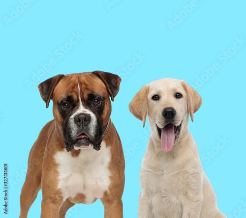 Fényképezés Playful Labrador Retriever panting and dutiful Boxer looking forward