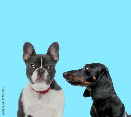 Vászonkép Dutiful French Bulldog wearing collar and Tackel looking at it