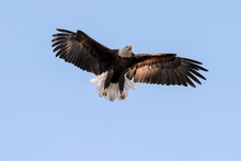 Bald Eagle Landing In The Shad...