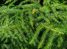 Close Up Detail Of An Evergreen With Lots Of New, Bright Green Growth. Sharp, Pointy Tips Of Pine Needles Cover The Branches