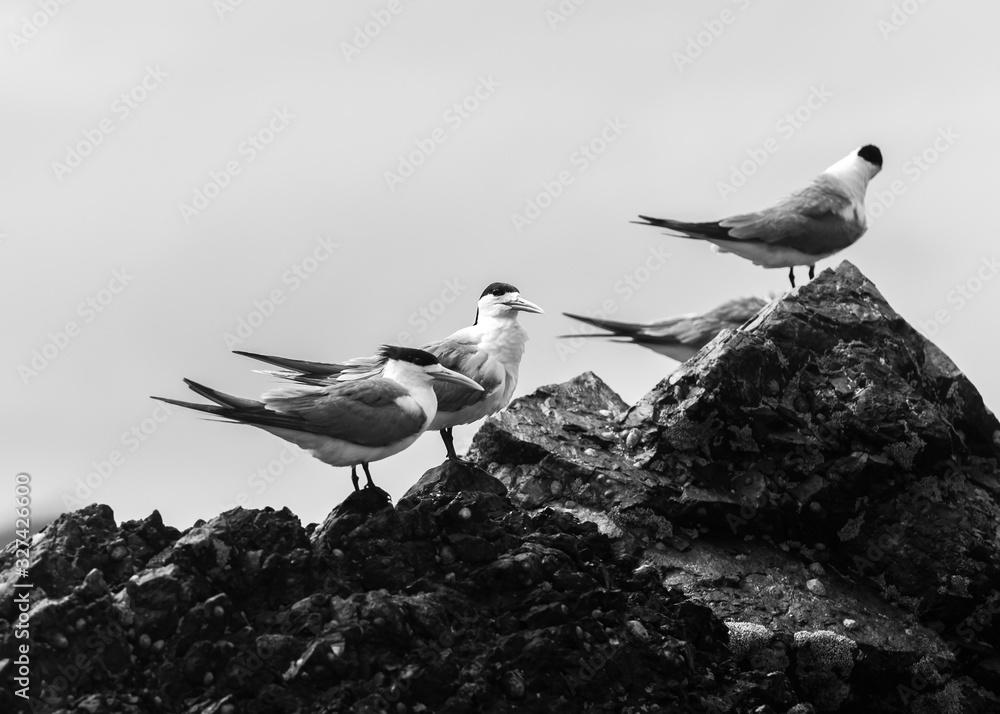 Fototapeta Black and White photo of a group of terns on the beach, Byron Bay Australia