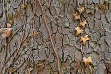 Rough Tree Bark With Brown Dri...