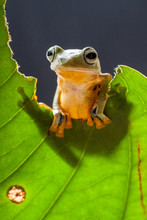 Wallace's Flying Frog On A Half Eaten Leaf, Indonesia
