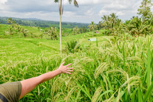 Girl Gently Waving Over The Full Ripe Rice Plants In Balinese Rice Field Landscape During Afternoon On A Cloudy Summer Day