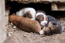 Thai Puppies Are Lying On The Ground Under The Concrete Floor.
