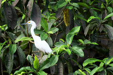 Snowy Egret Resting Nearby The...