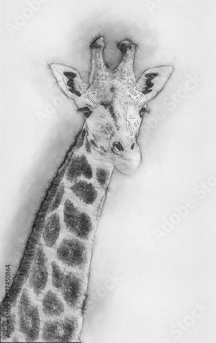 Giraffes African artiodactyl mammal Animal Drawing Wallpaper Mural