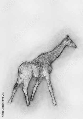 Giraffes African artiodactyl mammal Animal Drawing Canvas Print