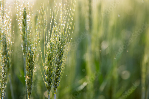 Photographie Green ears of barley with water drops after spraying water system close up at agricultural field