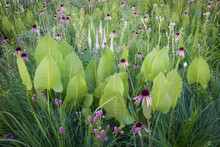 Prairie Dock, Pale Purple Coneflower And Leadplant Perfectly Orchestrated By Mother Nature. To Form A Beautiful Summer Wildflower Arrangement.