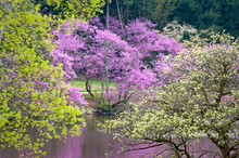 The Pink Blossoms Of An Easter...