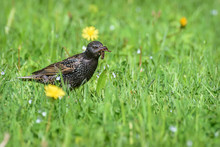 Starling Bird Feed Insect Grass