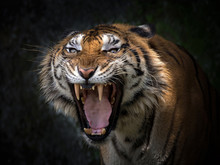 Sumatran Tigers Are Roaring Horribly.