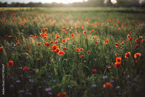 Poppy and cornflowers in sunset light in summer meadow. Atmospheric beautiful moment. Copy space. Wildflowers in warm light, flowers in countryside. Rural simple life - 327492667