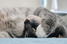 Sleeping Grey Cat Covers His F...