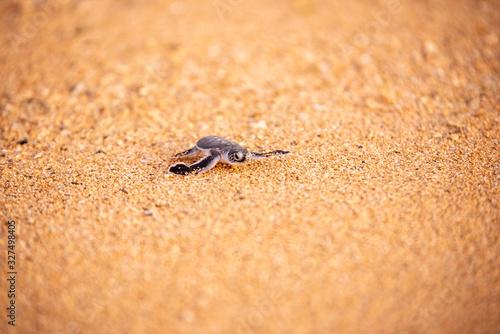 Valokuvatapetti Baby green sea turtle hatchlings on the beach at sunset Okinawa Japan