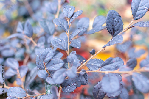 Tunberg barberry branches with dark blue or purple wet dense leaves with dew drops in the early morning in the park Canvas Print