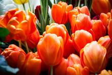 Orange Spring Tulips