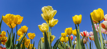 Panorama Of Yellow Tulips Agai...