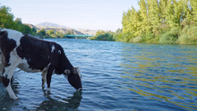 A Cow Drinking Water From The ...