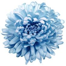 Flower Blue Chrysanthemum . Fl...