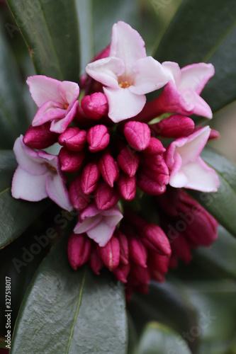 Photo Winter daphne (Daphne odora) - Closeup