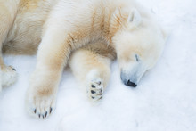 Funny Polar Bear. The Polar Bear Is Asleep. Sleeping White Bear