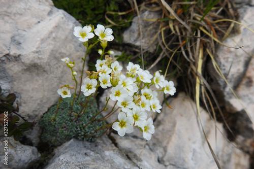 fioritura di Saxifraga sp. tra le rocce Wallpaper Mural
