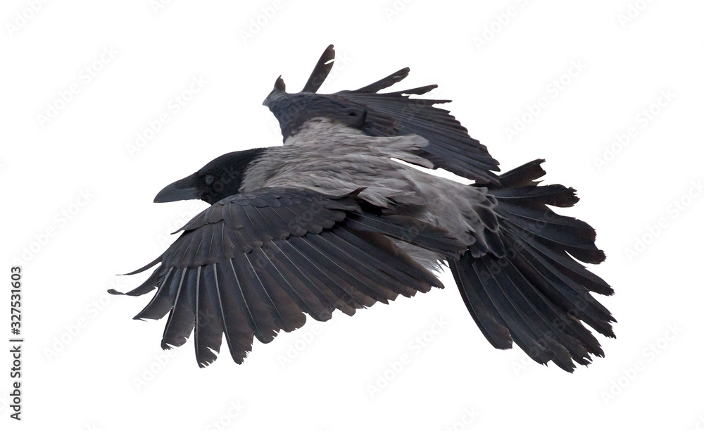 Fototapeta large grey isolated crow flight