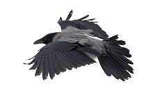 Large Grey Isolated Crow Flight