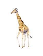 Handpainted Watercolor Illustration Of Giraffe Isolated On White