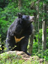 Black Himalayan Bear At Kaziranga National Park Of Assam.