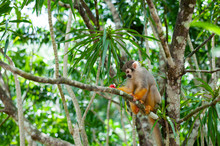 A Common Squirrel Monkey Playi...