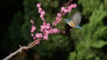 Beautiful Flying Blue Bird, Male Red-flanked Bluetail Or Orange-flanked Bush Robin(Tarsiger Cyanurus, Ruribitaki), Flying To Catch Worms On Branch.