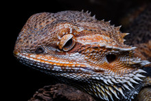 Male Bearded Dragon Orange Col...